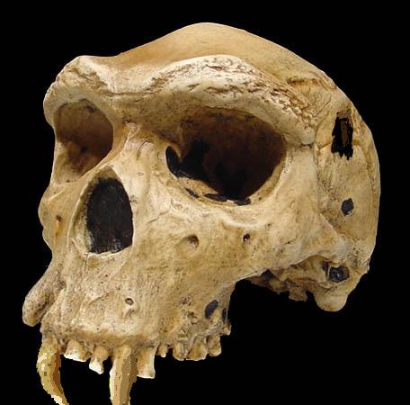 Wolf Skull Update