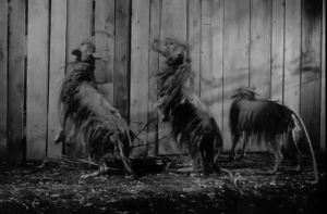 Due to budget limitations, collies in masks portrayed the giant shrews.