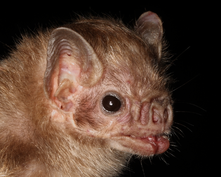 VAMPIRE bat has a face only a human mother could love. (Photo taken by David Milbourne).