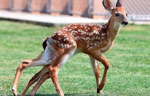 Mutant Deer