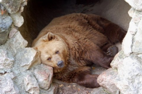bear-hibernating