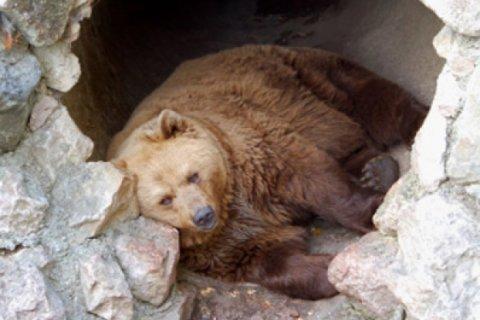 bear-hibernating