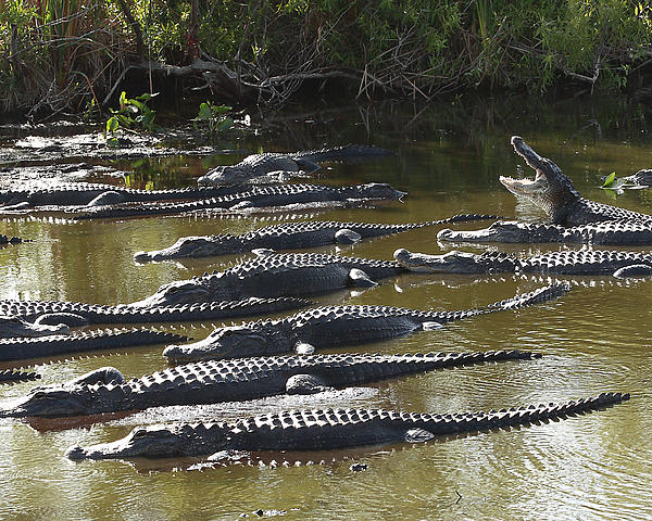 mOAT ALLIGATORS